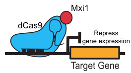 dCas9-Mxi1 represses target gene expression