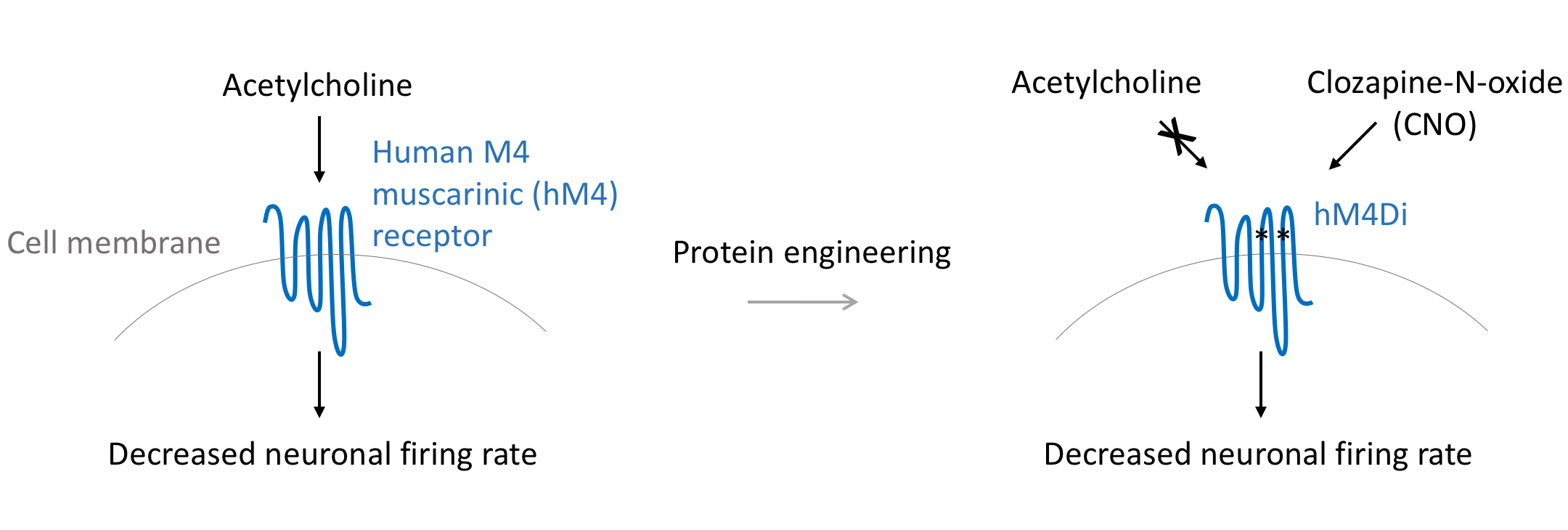 Mechanism of hM4Di