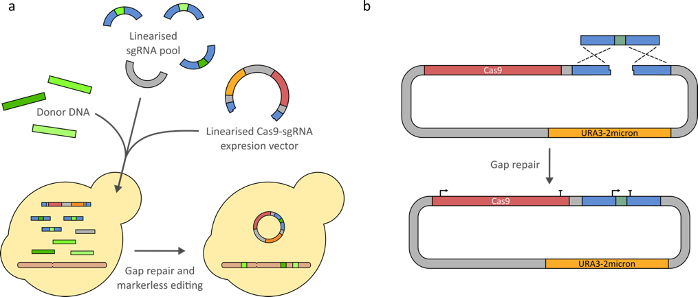 Quick and easy CRISPR engineering in Saccharomyces cerevisiae