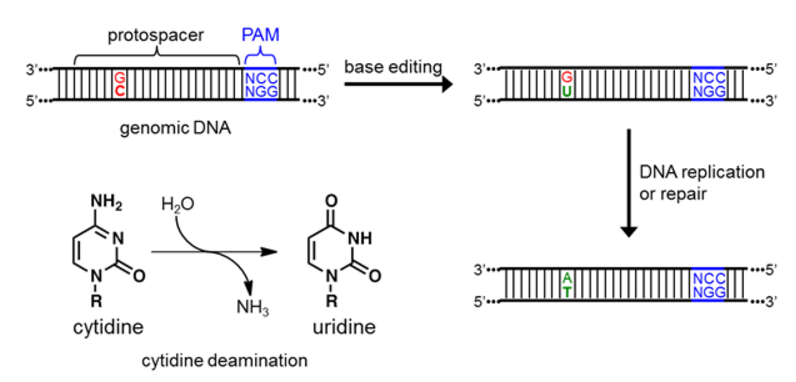 Guidelines for base editing in mammalian cells · Benchling